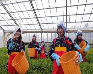 【お茶摘み体験・お茶工場見学など】 富士山Teaパーク