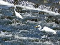 多摩川は清流