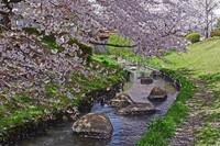 春の二ヶ領用水