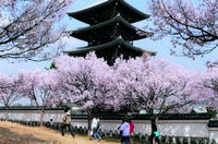 五重塔桜めぐり