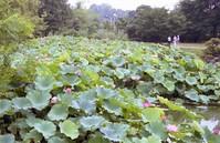 夏のハス池