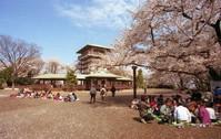 枡形山桜見物