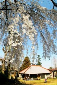 垂れ桜にまんきつ