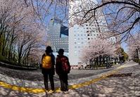 桜に見入る