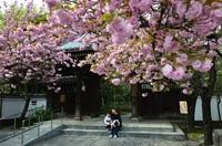 桜の花重たそうだね