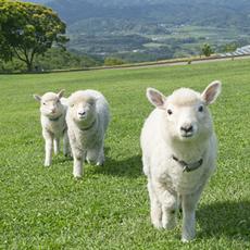 赤ちゃん羊に会いに行こう♪