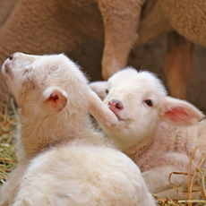 Spring is childbirth rush of sheep ☆Let's go meet the lambs♪
