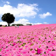 ピンク色の絶景!「桃色吐息」