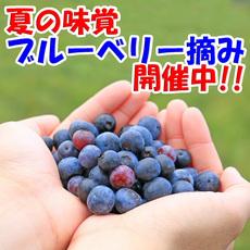 【夏季限定】ブルーベリー摘み