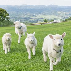 今年生まれた子羊たちがすくすく育ってついに放牧デビュー!