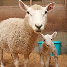 赤ちゃん羊の成長見守り隊