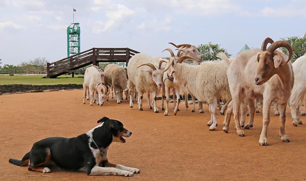 アグロドームショー「牧羊犬とまきばの仲間たち」