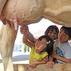 乳牛の手しぼり体験