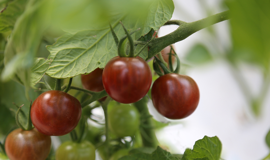 フルーツトマト狩り