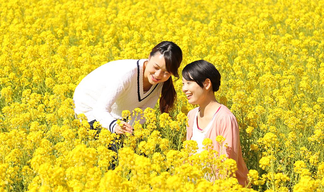 食用菜の花摘み