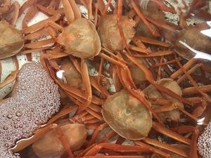蟹すき鍋・蟹の香箱!ずわい蟹尽くし会席