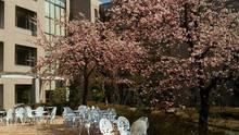 中庭テラス満開の安行桜