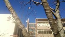 厳冬の下 凛と咲く冬桜 開花は冬、春