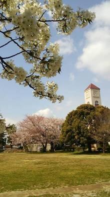 時計台と桜