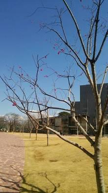正門へと続く桜プロムナード