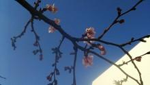 1年に二度咲きする十月桜(八重桜)