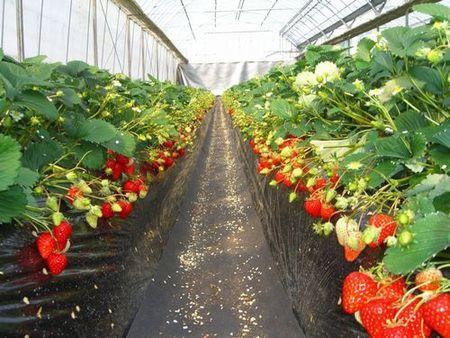 <Jan~Apr>Strawberry picking