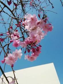 今年も卒業シーズンに咲きました。桜プロムナードの八重紅枝垂桜