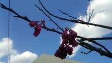 澄み渡る青空に映える寒緋桜